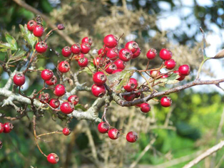Thorn berries ready for collection