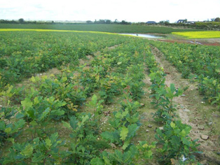 A crop of 1 year Oak growing in the nursery in Ballymurn